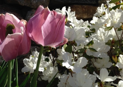 Pink Tulips and White Azalea blooms